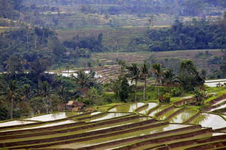 resourceful: Terraced rice paddies with crops  Bali, indonesia