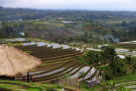 paddies: Terraced rice paddies with crops  Bali, indonesia