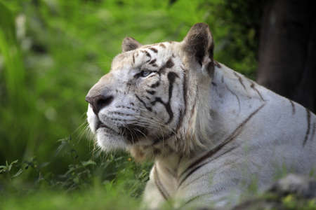 Portrait of a white tiger. A zoo to Bali photo