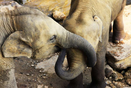 africa kiss: Two elephants in a wild nature kiss