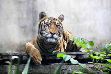 The tiger once got in a trap and lost a paw now lives in a zoo of Bali  Indonesia Stock Photo - 16423276