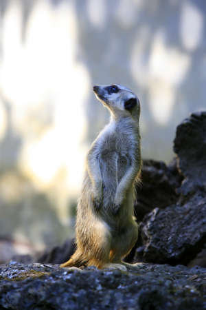 suricatta: Meerkat or suricate (Suricata, suricatta) is a small mammal and a member of the mongoose family. Zoo in New Zealand