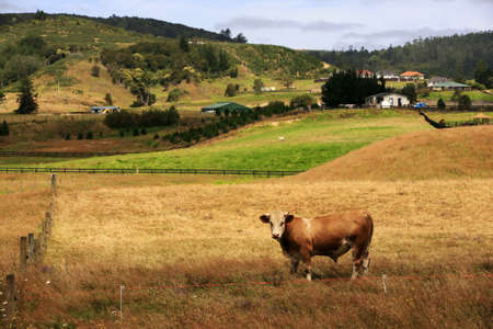 are grazed: Grazed cow on a pasture. New Zealand