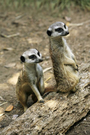 mongoose: Meerkat or suricate (Suricata, suricatta) is a small mammal and a member of the mongoose family. Zoo in New Zealand