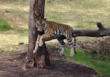 Tiger has a rest on the tree with grass background Stock Photo - 16798586
