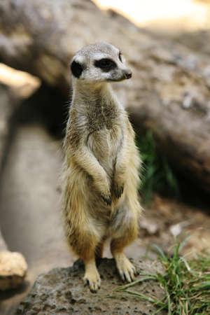 suricate: Meerkat or suricate