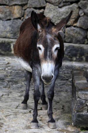 dun: Sad donkey on a background of stones