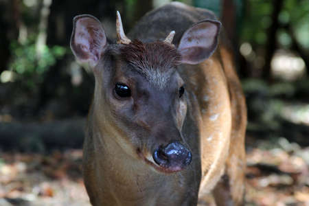Portrait of a young deer.  Barbados. Wildlife Reserve photo