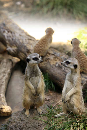 adapted: Meerkat or suricate (Suricata, suricatta) is a small mammal and a member of the mongoose family. Zoo in New Zealand