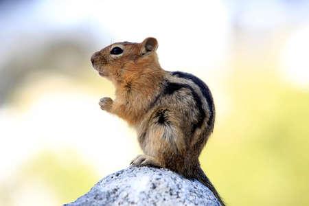 ground nuts: Eastern Chipmunk, tamias striatus, standing erect on a rock, California
