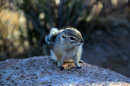 hibernate: Eastern Chipmunk, tamias striatus, standing erect on a rock pile, California