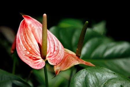 anthurium: Flamingo lily. Closeup of several red anthurium andreanum