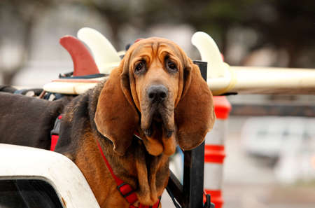 Red dog Bloodhound in car photo