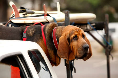 bloodhound: Red dog Bloodhound in car