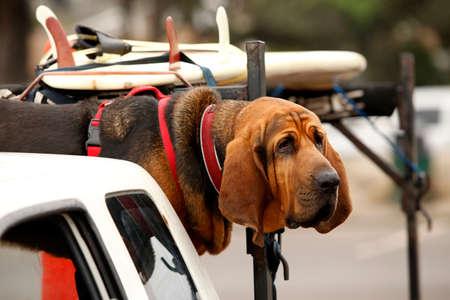 bloodhound: Red dog Bloodhound in car
