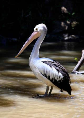 pelikan: Pelican profile showing the pouched beak. Bali zoo. Indonesia