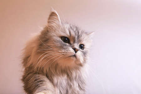 housepet: Portrait of a grey cat close-up. Stock Photo