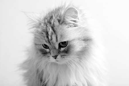 housepet: Portrait of a grey cat close-up.  Stock Photo