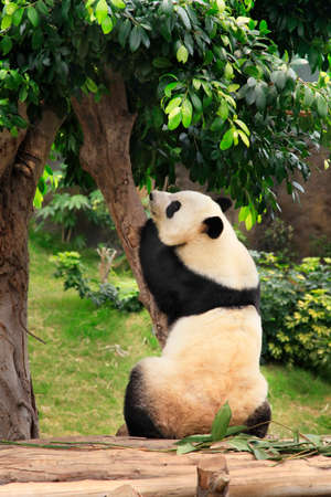 Big panda in zoo Hong Kong photo