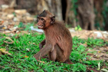 biped: Monkey with ogressivnym expression. Cambodia Stock Photo