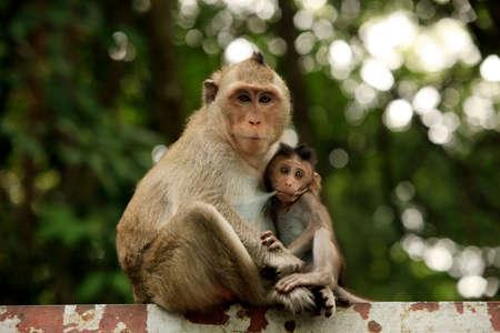 female nipple: Famiglia di scimmie. Cambogia