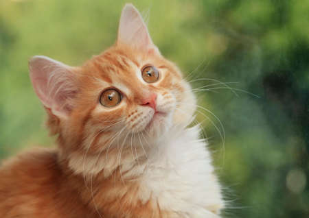 housepet: Portrait of a young red-haired cats Stock Photo