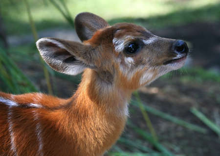 fawn: Young deer in bali a zoo .