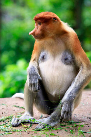proboscis: Proboscis Monkey, Nasalis larvatus, or long-nosed monkey Stock Photo