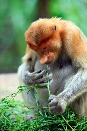 sandakan: Proboscis Monkeys, Nasalis larvatus, or long-nosed monkeys, the worlds most endangered primates, are endemic to the mangrove forests of the Southeast Asian island of Borneo. Proboscis Monkey Sanctuary, Sandakan, Sabah, Malaysia.