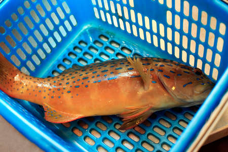 fish vendor: Freshly caught coral grouper fish in the blue basket