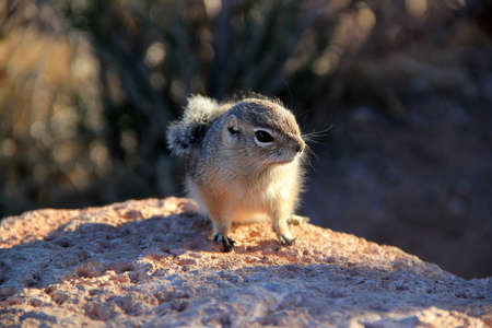 cute rodent living in Grand Canyon. Usa Reklamní fotografie