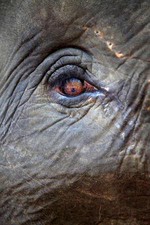 angry elephant: Eye of the elephant close up