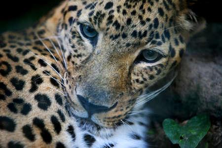 pardus: Portrait of a leopard (Panthera pardus). Bali. Indonesia Stock Photo
