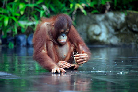 orangutan: Young orangutan with a nut of a coco. Bali zoo. Indonesia