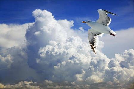 gulls: Seagull with open wings with a cloudy sky Stock Photo
