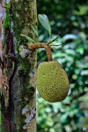 malaisia: Breadfruit Artocarpus altilis. This was photographed in Malaisia Borneo.