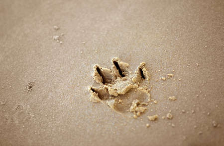 footmark: Dog paw print in the wet sand