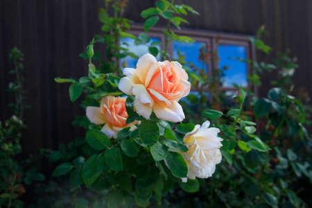 rose garden: Beautiful rose in garden