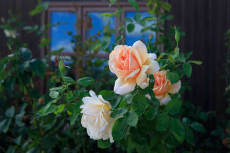Beautiful rose in garden