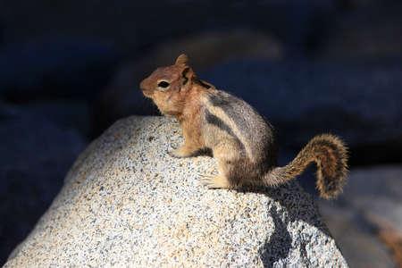 chipmunk: Chipmunk oriental, Tamias striatus, erguida sobre una roca, California
