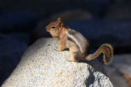 hibernate: Eastern Chipmunk, tamias striatus, standing erect on a rock, California