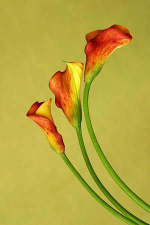 callas: Red callas stand against a green background Stock Photo