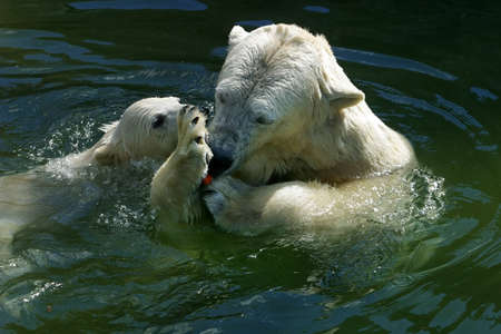 animales del zoologico: Los osos polares est�n nadando en el agua. Ilustraci�n para la revista acerca de los animales