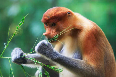 sandakan: Proboscis Monkeys, Nasalis larvatus, or long-nosed monkeys, the worlds most endangered primates, are endemic to the mangrove forests of the Southeast Asian island of Borneo. Proboscis Monkey Sanctuary, Sandakan, Sabah, Malaysia.