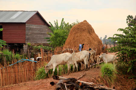 farm house: Lean dairy cow against a background of traditional houses and haystacks in Cambodia