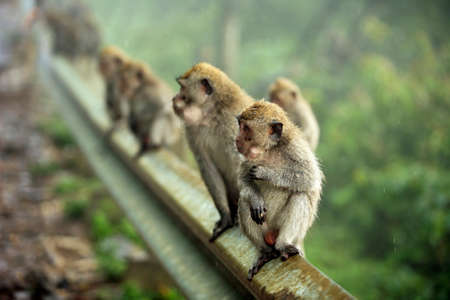 zoo animal: Monkeys in forest on Bali in Indonesia. Stock Photo