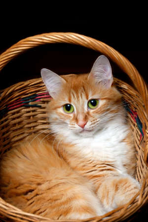 housepet: Portrait of a young red-haired cats in wicker basket Stock Photo