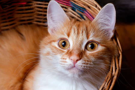 purr: Red cat in basket close up