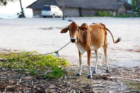 Skinny cow in the African village Zanzibar