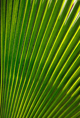 herbage: Green palm leaf close up. Natural background